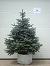 "Click for larger ""As Sold"" image: Colorado Blue Spruce - 4-5 ft., #15 container."