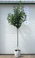 "Click for larger ""As Sold"" image: Cleveland Select Flowering Pear - 7-8 ft., #7 container."