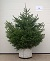 "Click for larger ""As Sold"" image: Norway Spruce - 5 ft., balled and burlapped."