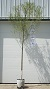 "Click for larger ""As Sold"" image: Skyrise Hybrid Salix - 8-9 ft., shade style, #7 container."