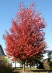 Selected 1997 Tree of the Year by Iowa Nursery & Landscape Assoc., Autumn Blaze is an extremely fast-growing maple with brilliant red fall color. Grows 50 ft. high and 40 ft. wide—can grow 3 ft. or more per year under good conditions. Dense, oval head with strong branching.  Will grow in a wide range of climates from Michigan to central Florida. Every yard should have one of these trees.