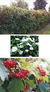 The American Cranberry Bush has showy white flowers in spring followed by red berries in fall and winter. This is an excellent deciduous shrub for screening up to 10 to 12 ft. high. The berries hang through mid winter, making excellent bird feed. This shrub has very few insect problems and prefers good, well-drained soil. It grows to a width of 8 ft. with very dense growth of up to 3 feet per year in full sun or part shade. For a solid screen, plant bushes 2 to 3 ft. apart.