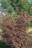 Ninebark is prized for its deciduous, colorful deep purple-red foliage in summer with pale pink flower clusters in spring, on upright arching branches with exfoliating bark. Can grow 1-3 ft. per year and mature at 8 ft. tall and wide. Will tolerate dry conditions but prefers moist soil that is not water-logged. Will grow in part shade to full sun. Color may change to green during very hot summer conditions in the southern states. Plant 3-5 ft. apart for screen or hedge.