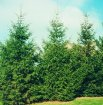 Very attractive pyramid evergreen, fastest growing type of spruce.  When established, Norway Spruce can grow 2 ft. or more per year. With a height of 60 ft. or more and a 20 ft. spread, it is good for windbreaks or screens.