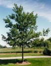 "One of the fastest growing oaks, with up to 2 ft. of growth per year. May grow to a height of 60 feet, with a spread of 50 feet. In 15 to 10 years, may also produce acorns. Lustrous dark green leaves in summer, russet red in the fall and ""hang on"" very late. Tolerant of many urban conditions, but prefers sandy, well-drained soils in full sun. Wood is heavy, strong, and very ice and wind resistant."