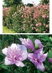 Rose of Sharon is a quick growing shrub that flowers from mid-summer to mid-fall and has flowers in red, pink and purple.  It makes a very showy screen that grows to 10 ft. tall and 5 ft. wide in full sun.