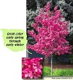 New Item (Great Color Early Spring through Early Winter) - This upright rounded crabapple tree is very disease resistant. Unlike the old-time crabapples, this tree requires no chemical spraying to keep its maroon to dark green leaves healthy. The red flower buds open to a bright pink in a gorgeous spring display. The show continues with the pea size, dark red fruit hanging on into winter. Fall foliage is various shades of orange and red. Royal Raindrops will grow about 1-2 ft. per year to a height and spread of 20 ft. by 15 ft. It can be used as a dense hedge or short windbreak. Grows in most soil conditions except very wet.