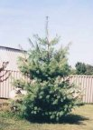 With a growth rate of up to 3 ft. per year, Eastern White Pine will be a striking addition in any landscaping in just a couple of years. This fast-growing conifer can be identified by its soft green needles and straight trunk. For a fuller tree at maturity, lightly prune tree during the first 2-3 years.  Full sun promotes faster growth, will thrive in partial shade, will not tolerate wet, swampy conditions.